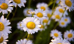 阳光下的雏菊微距特写摄影高清图片