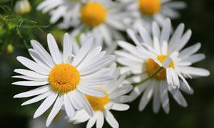 有着白花瓣的菊花特写摄影高清图片