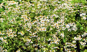 在野外生长的菊花特写摄影高清图片