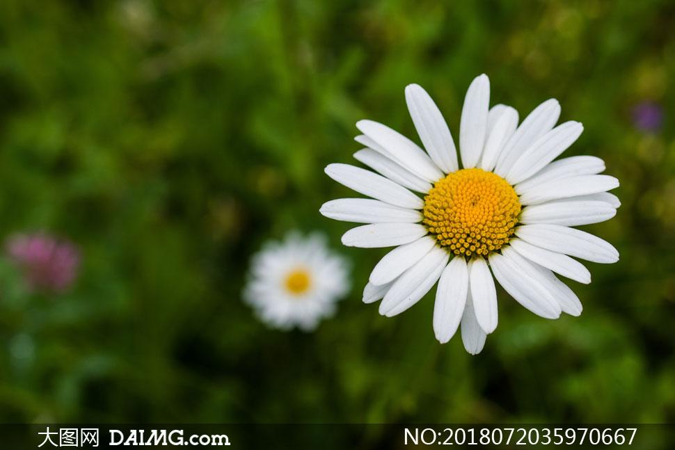 草丛中的菊花近景特写摄影高清图片 - 大图网设计素材