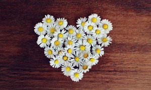 摆成心形的白菊花特写摄影高清图片