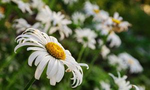 在花草丛中的白色菊花摄影高清图片