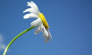 以天空为背景的白菊花摄影高清图片