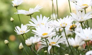 春天里绽放的白色花丛摄影高清图片
