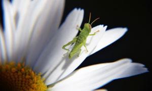在白菊花上的蚱蜢特写摄影高清图片