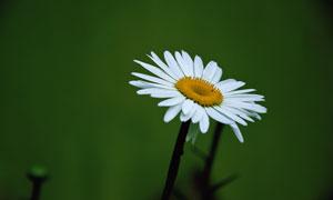 春天里一朵白菊花特写摄影高清图片