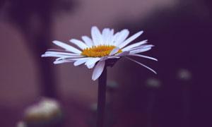 花丛中的菊花微距特写摄影高清图片