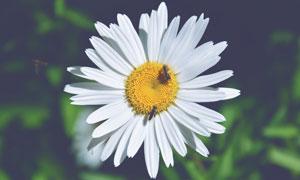 有蜜蜂采蜜的鲜花特写摄影高清图片