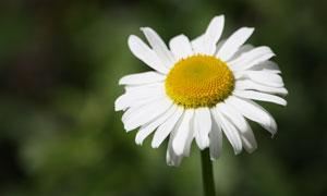 开着白色花的菊花微距摄影高清图片