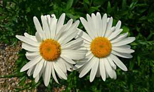 草丛中的两朵菊花特写摄影高清图片