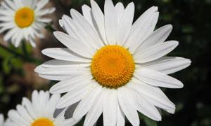 大朵的白菊花微距特写摄影高清图片