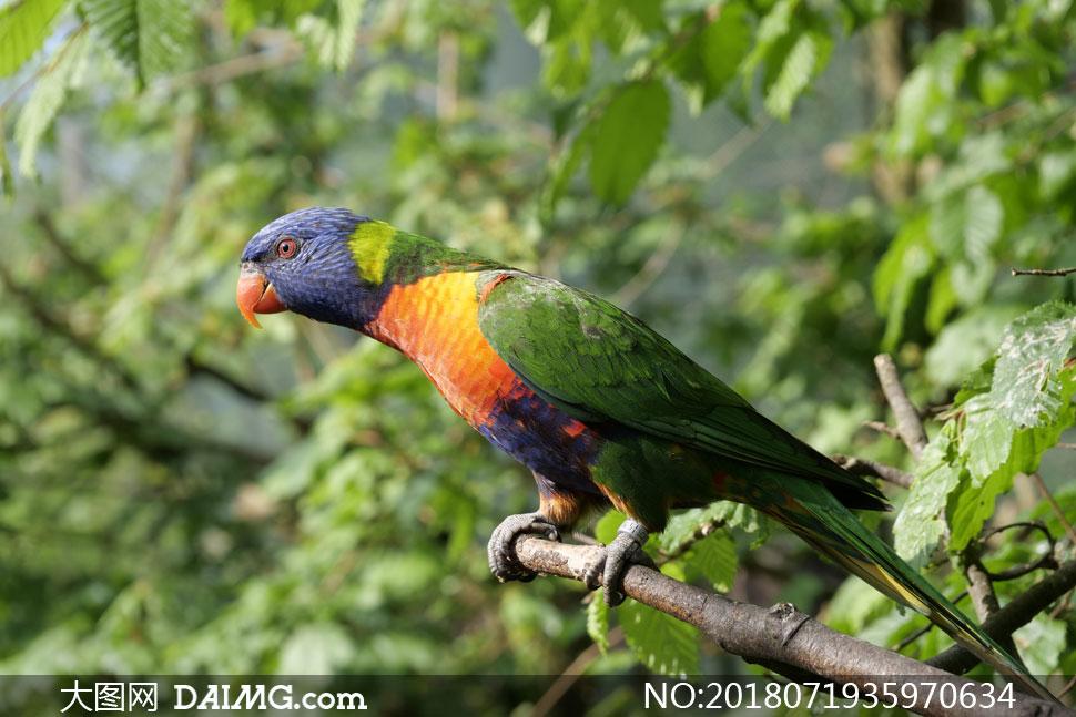 树枝上伸长脖子的鹦鹉摄影高清图片 - 大图网设计素材