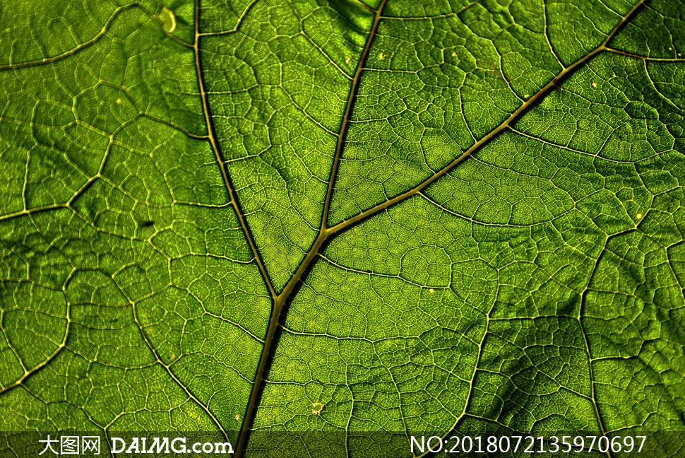 透光效果绿色树叶特写摄影高清图片 - 大图网设计素材