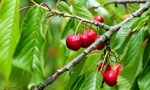 树枝上生长的樱桃特写摄影高清图片