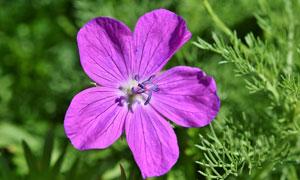 一朵盛开在草丛中的花摄影高清图片