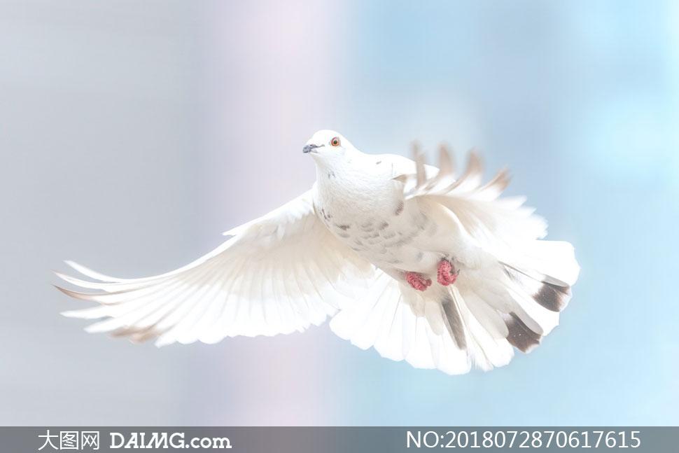 天空中展翅高飞的白鸽摄影高清图片