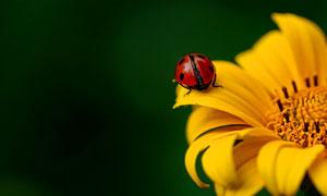 黄色花朵上的瓢虫特写摄影高清图片