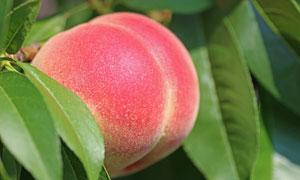 树上表面红彤彤的桃子摄影高清图片