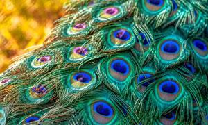 鲜艳瑰丽的孔雀毛特写摄影高清图片