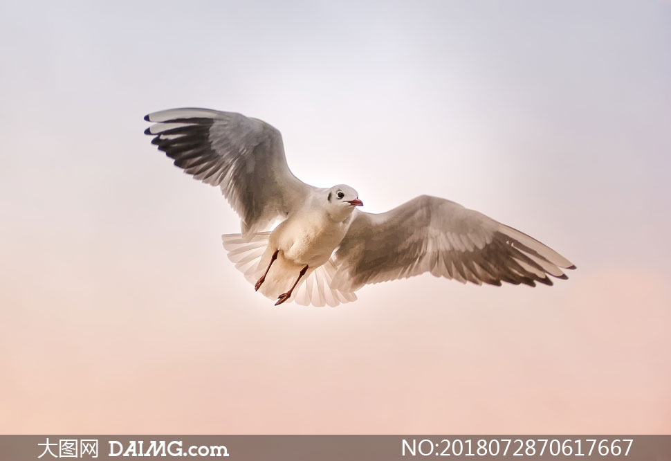 展翅翱翔天空中的海鸥摄影高清图片