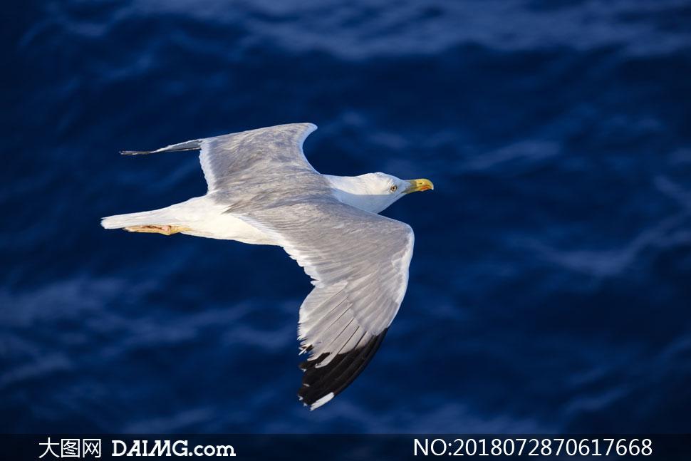 海面上低空飞行的海鸥摄影高清图片