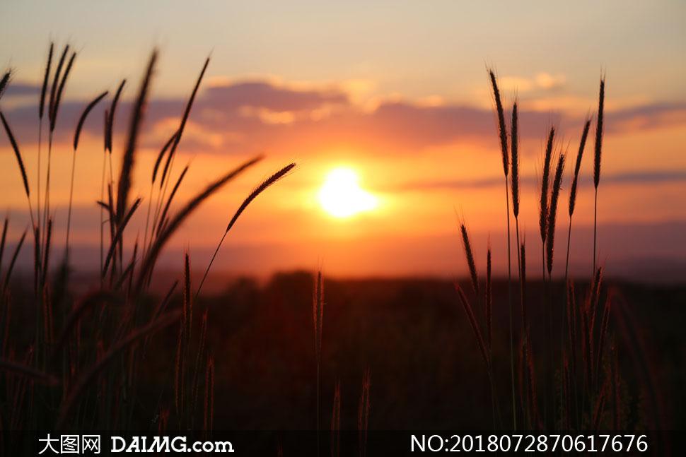 黄昏落日映衬下的杂草摄影高清图片