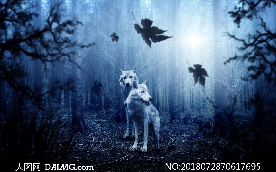 在茂密树林中的两头狼摄影高清图片 - 大图网设计素材