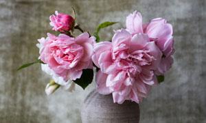 陶瓶里的粉色花朵特写摄影高清图片