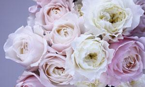 几朵玫瑰花朵近景特写摄影高清图片