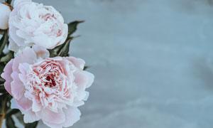 泛白的粉色玫瑰花特写摄影高清图片
