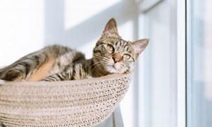 躺在篮子里的猫咪特写摄影高清图片