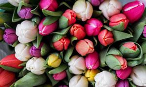 放在一起花花绿绿的郁金香高清图片