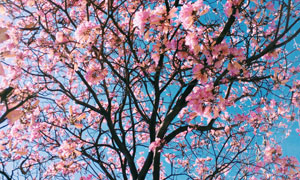 枝头开满了鲜花的树木摄影高清图片