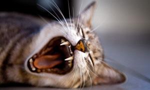 张开嘴露出牙齿的猫咪摄影高清图片
