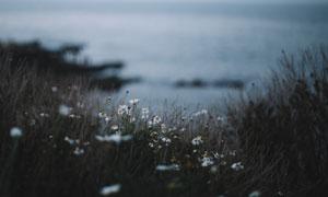 生长在海边的雏菊花卉植物高清图片