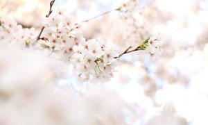 树枝上盛开的鲜花特写摄影高清图片