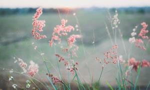 长出种子的草近景特写摄影高清图片