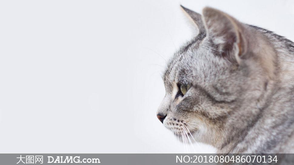 一只灰色的猫侧面特写摄影高清图片