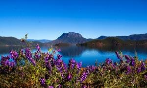 泸沽湖边上的紫色小花朵摄影图片