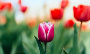红色的郁金香植物特写摄影高清图片