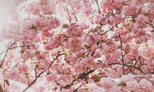 开满粉色花的树枝特写摄影高清图片