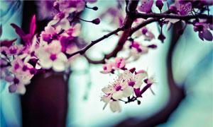 树枝上鲜艳的花朵特写摄影高清图片