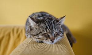 趴沙发上睡觉的宠物猫摄影高清图片