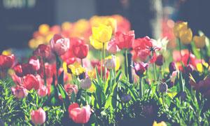 花期绽放的郁金香花卉植物高清图片