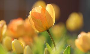 花丛中的黄色郁金香花摄影高清图片