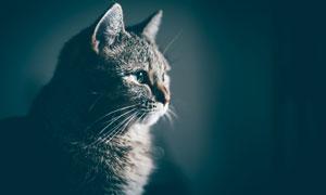 注视着什么的猫咪特写摄影高清图片