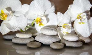 鹅卵石与白色兰花特写摄影高清图片