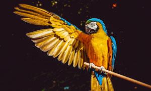 树枝上展开翅膀的金刚鹦鹉高清图片