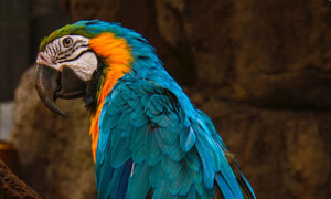 树枝上的蓝羽鹦鹉特写摄影高清图片