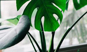 靠窗户放的龟背竹植物摄影高清图片